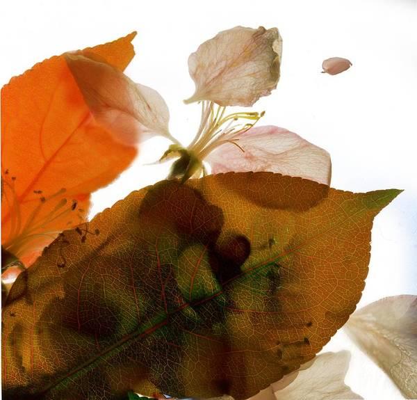 Crabapple Poster featuring the digital art Crabapple Rose I by Julia McLemore