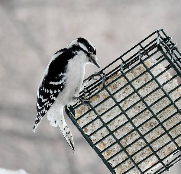 Bird Poster featuring the photograph Downy Woodpecker Feeding by Stephanie Kendall