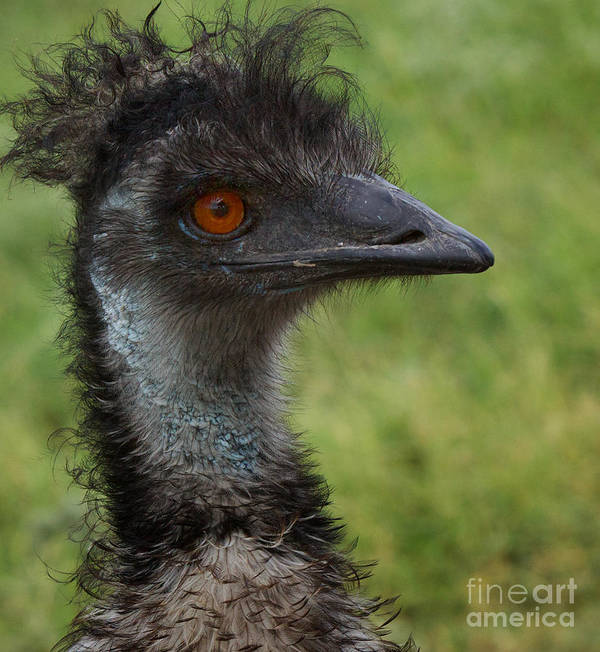 Australia Poster featuring the photograph Emu With Red Eye by Valerie Johnson