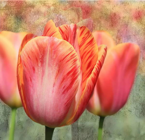 Tulip Poster featuring the photograph Festive Tulips by Angie Vogel