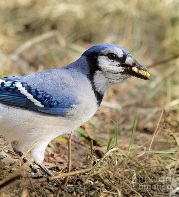 Blue Jay Poster featuring the photograph Filling The Cache by Amy Porter