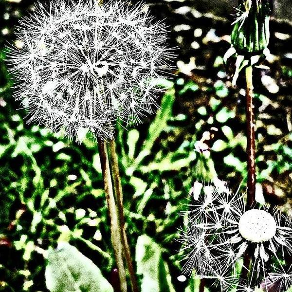 Beautiful Poster featuring the photograph Dandelions by J Roustie