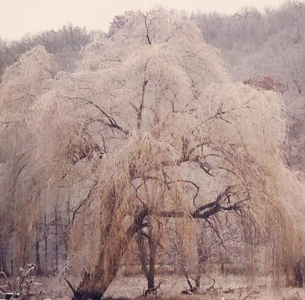 Willow Poster featuring the photograph Frozen Willow by Betty West