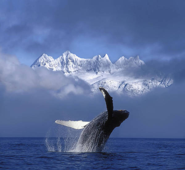 Hyde Poster featuring the photograph Humpback Whale Breaches In Clearing Fog by John Hyde