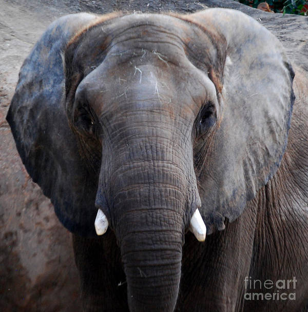 Grey Elephant Poster featuring the photograph Jumbo by Nancy Bradley
