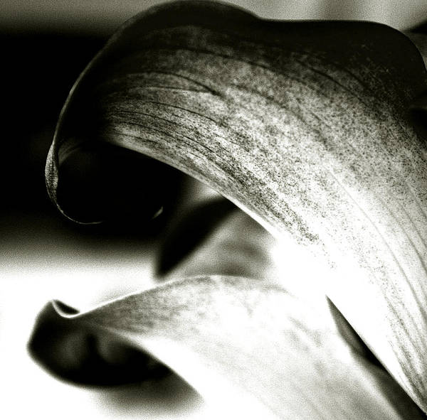 Calla Lily Poster featuring the photograph Loving You by Penelope Stephensen