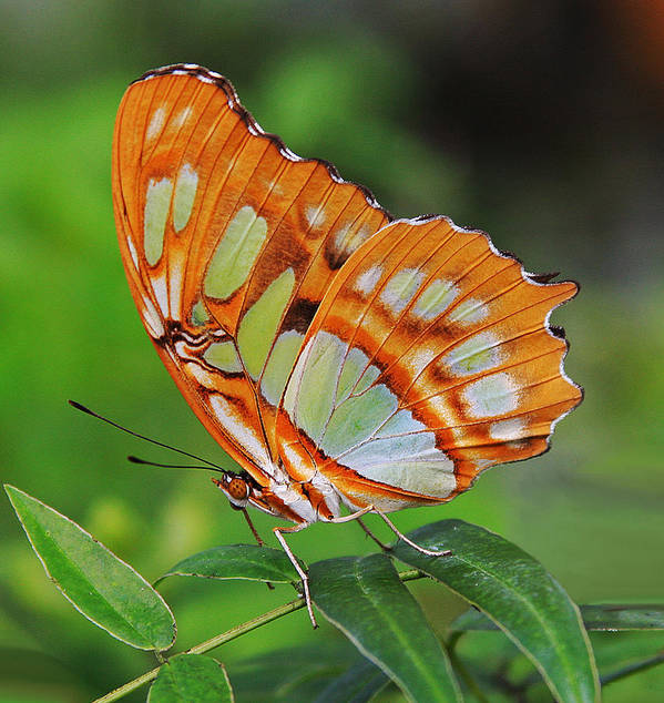 Malachite Butterfly Poster featuring the photograph Magnificently Majestic Malachite by Tamara Gibbs