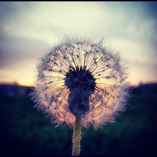 Countryside Poster featuring the photograph #mgmarts #dandelion #sunset #simple by Marianna Mills