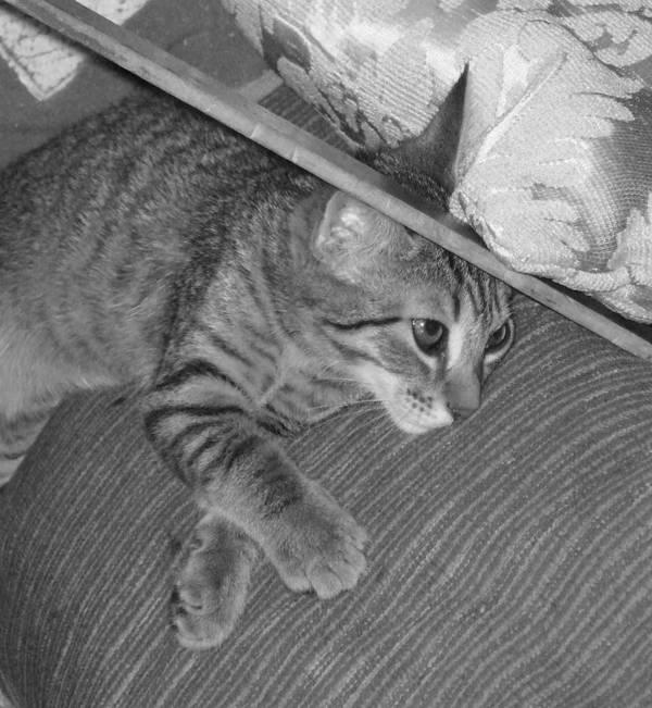 Kitten Poster featuring the photograph Model Kitten by Pharris Art