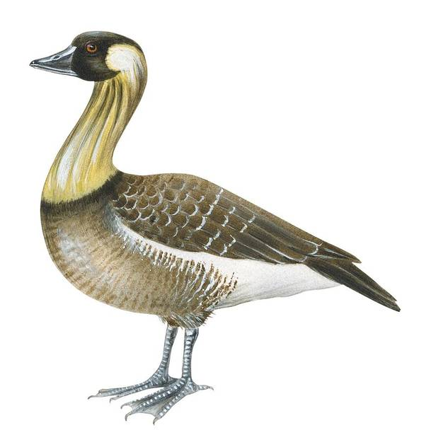 No People; Square Image; Full Length; White Background; Standing; One Animal; Animal Themes; Illustration And Painting; Nene; Branta Sandvicensis; Bird; Aquatic Poster featuring the drawing Nene by Anonymous