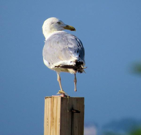 Seagull Poster featuring the photograph One Foot Seagull by Diane Carlson