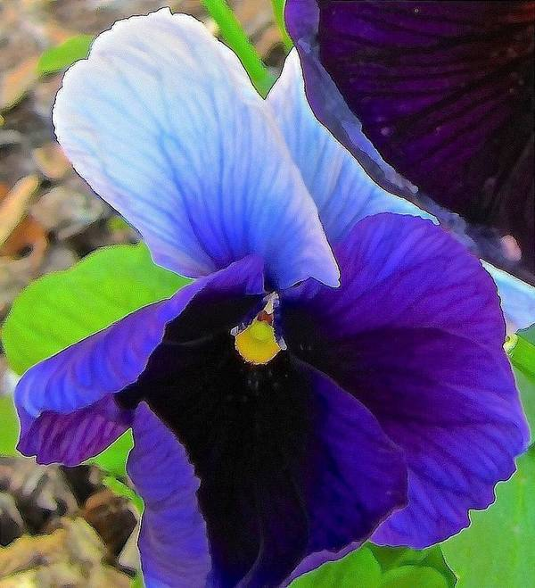 Pansy Poster featuring the photograph Pansy 2 by Elizabeth Tillar