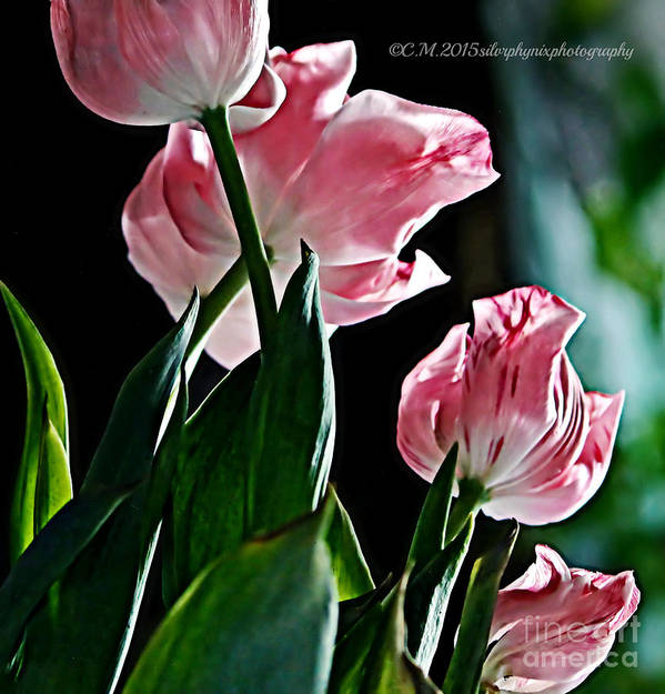Pink Tulips Poster featuring the photograph Pastel Petals by Catherine Melvin