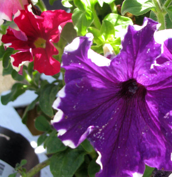 Petunia Poster featuring the photograph Perfect Pair by Debi Singer
