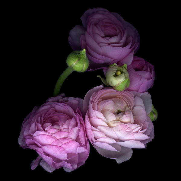 Bud Poster featuring the photograph Pinkalicius Ranunculus... Pink For by Photograph By Magda Indigo