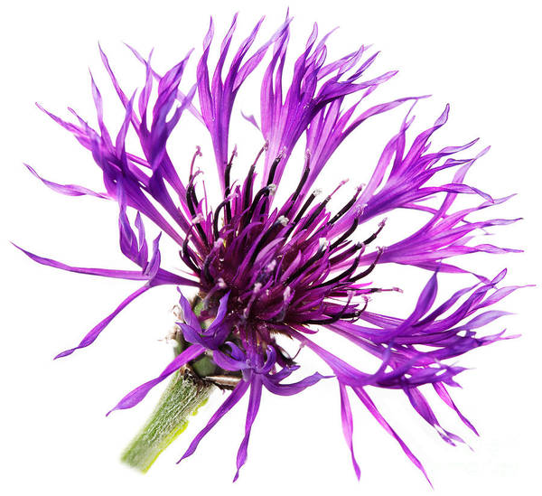 Cornflower Poster featuring the photograph Purple Cornflower by Jo Ann Snover