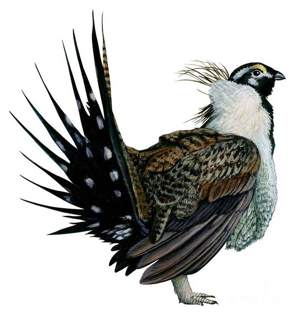No People; Vertical; Side View; Full Length; White Background; One Animal; Wildlife; Illustration And Painting; Zoology; Close Up; Bird; Feather; Beak; Animal Pattern; Wing; Tail; Sage Grouse; Centrocercus Urophasianus Poster featuring the drawing Sage Grouse by Anonymous