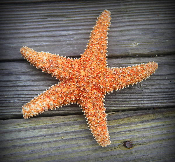 Starfish Poster featuring the photograph Sea Star On Deck 2 by Cathy Lindsey