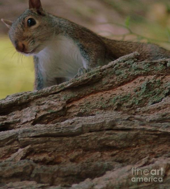 Squirrel Poster featuring the photograph Squirrel by Kathleen Struckle