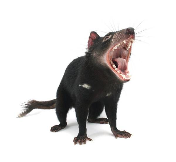 Biology Poster featuring the photograph Tasmanian Devil by Science Photo Library