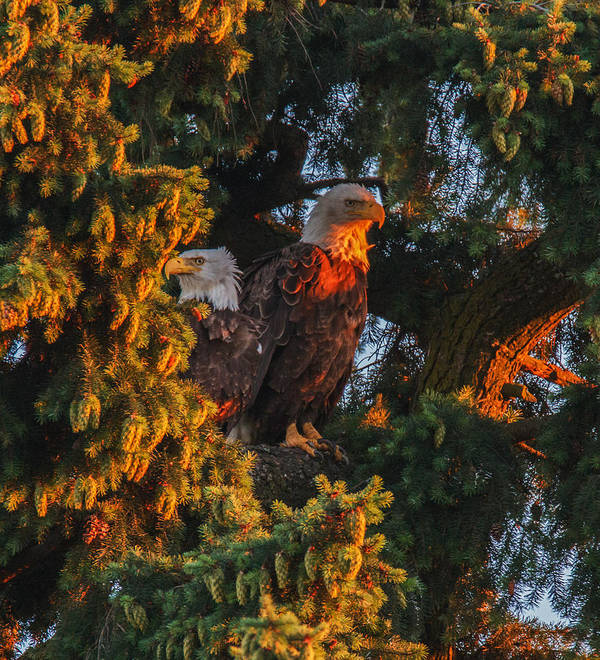 Bald Eagles Poster featuring the photograph The Golden Hour by Angie Vogel