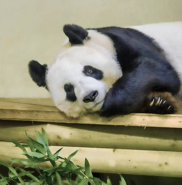 Giant Panda Poster featuring the photograph Tian Tian The Giant Panda by Tylie Duff