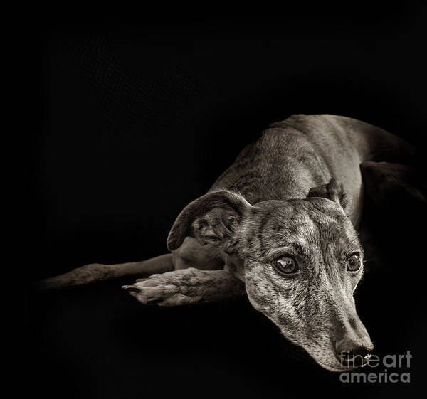 Whippet Poster featuring the photograph Tina 1 by Danilo Piccioni