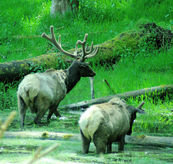 Elk Poster featuring the photograph Two Bull Elk In Velvet by Jeff Swan