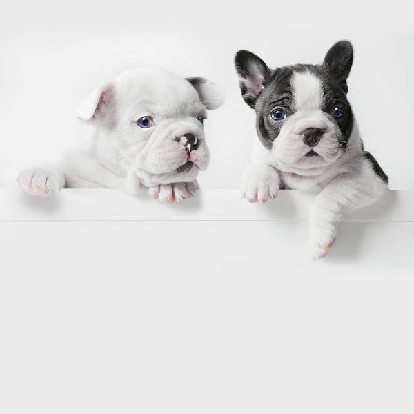 Pets Poster featuring the photograph Two French Bulldog Puppies Peer Over A by Andrew Bret Wallis