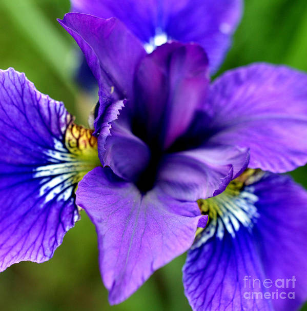 Iris Poster featuring the photograph Wings I by Valerie Fuqua