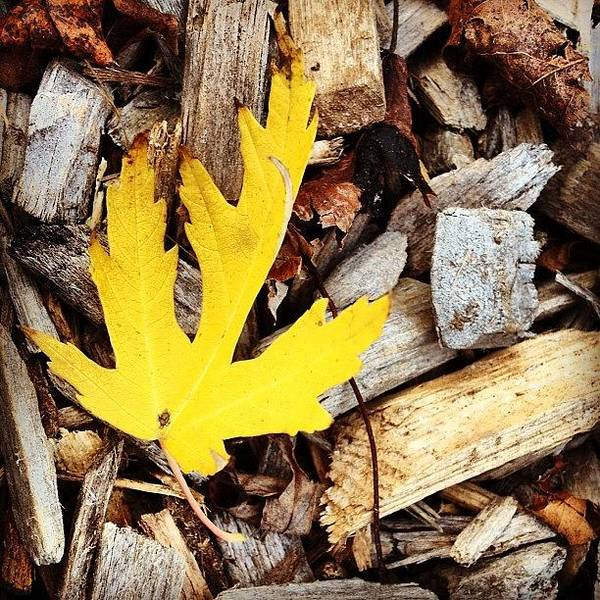 Leaf Poster featuring the photograph Yellow Leaf by Christy Beckwith