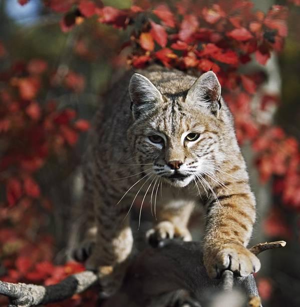 Attacking Poster featuring the photograph Bobcat Felis Rufus Walks Along Branch by David Ponton