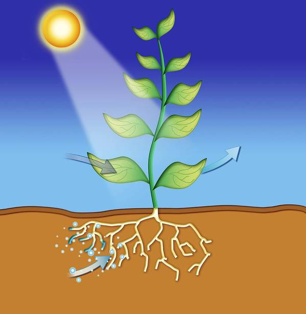 Plant Poster featuring the photograph Photosynthesis, Artwork by David Nicholls