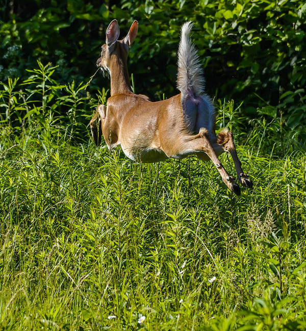 Poster featuring the photograph White-tailed Deer by Brian Stevens