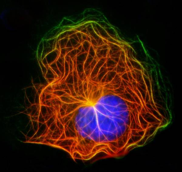 Microtubule Poster featuring the photograph Cell Structure, Fluorescent Micrograph by Robert Mcneil, Baylor College Of Medicine