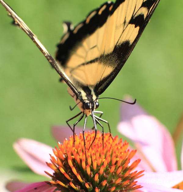 Swallowtail Butterfly Poster featuring the photograph Tiger Swallowtail Butterfly by Krista Kulas
