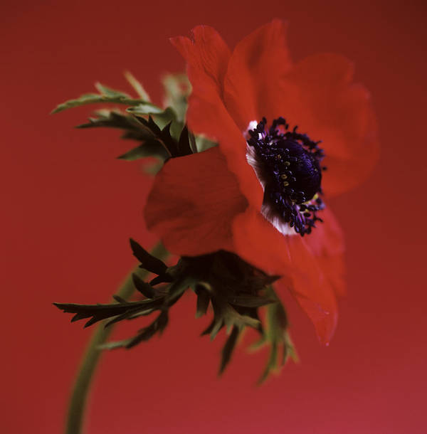 Anemone Sp. Poster featuring the photograph Anemone Flower (anemone Sp.) by Cristina Pedrazzini