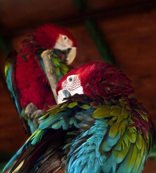 Parrot Poster featuring the photograph ARA by Ivan Vukelic