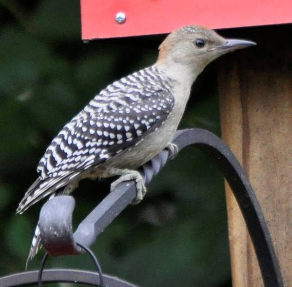 Bird Poster featuring the photograph Baby Redbellied Woodpecker by Terri Albertson