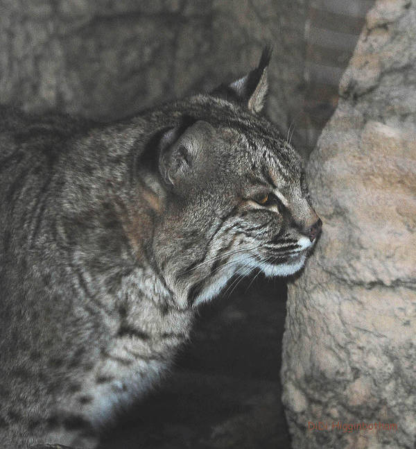 Bobcat Poster featuring the photograph Bobcat Love II by DiDi Higginbotham