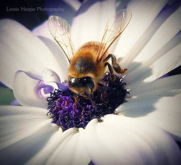Bee Poster featuring the photograph Buzz Wee Bees Lll by Lessie Heape