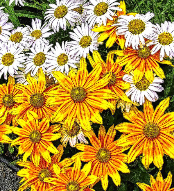 Daily Poster featuring the photograph Daisy Garden by Mark Sellers