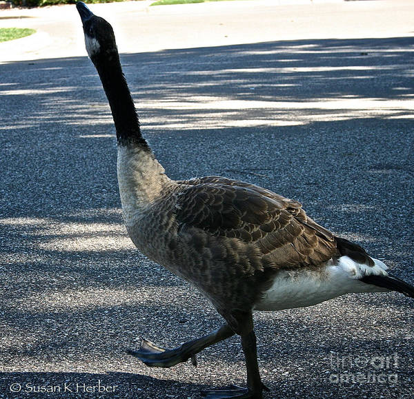 Outdoors Poster featuring the photograph Honk And Strut by Susan Herber