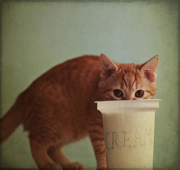 Horizontal Poster featuring the photograph Kitten Eating From Big Pot Of Cream by By Julie Mcinnes