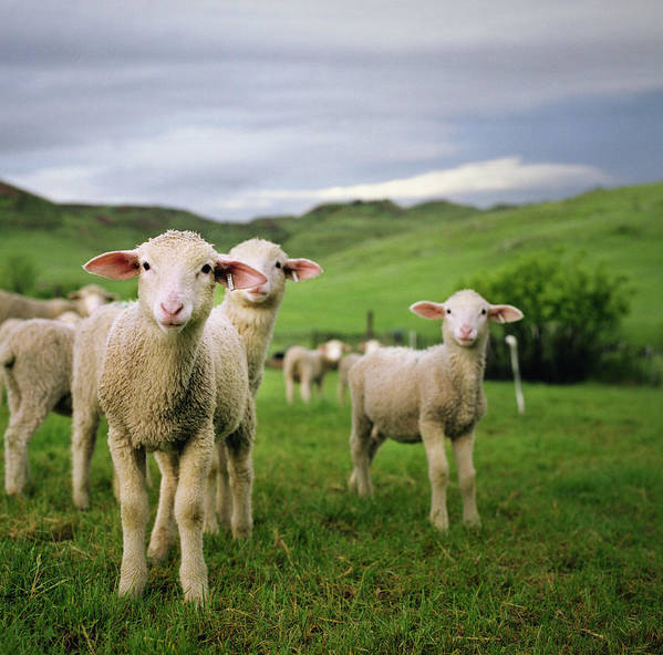 Horizontal Poster featuring the photograph Lambs In Wyoming by Danielle D. Hughson