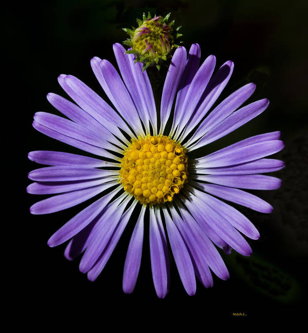 Long Leaved Aster Poster featuring the photograph Long Leaved Aster by Mitch Shindelbower