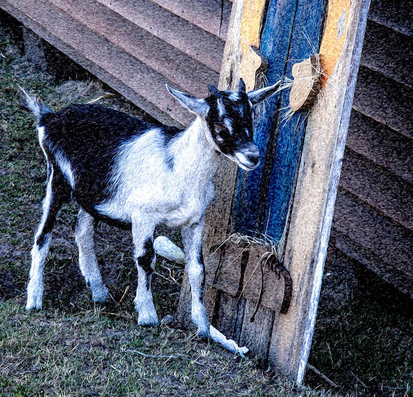 Goat Poster featuring the photograph Painted Goat by T C Hoffman