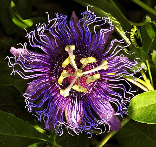 Passionflower Poster featuring the photograph Passionflower by David Lee Thompson