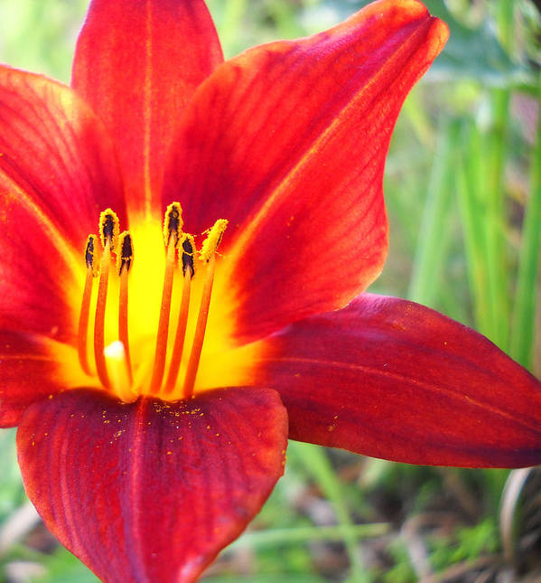 Flower Photo Poster featuring the photograph Red Yellow Lily by Duwayne Washington