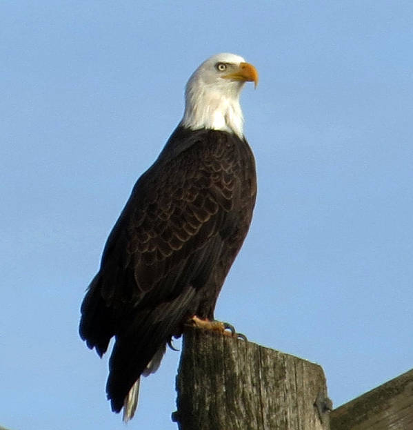 Bald Eagle Poster featuring the photograph Regal Eagle by Vicki McKee
